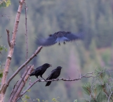 DSC_6195cropped crow_raven sequence24