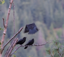 DSC_6196cropped crow_raven sequence24