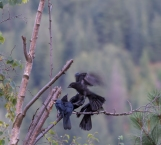 DSC_6205cropped crow_raven sequence24