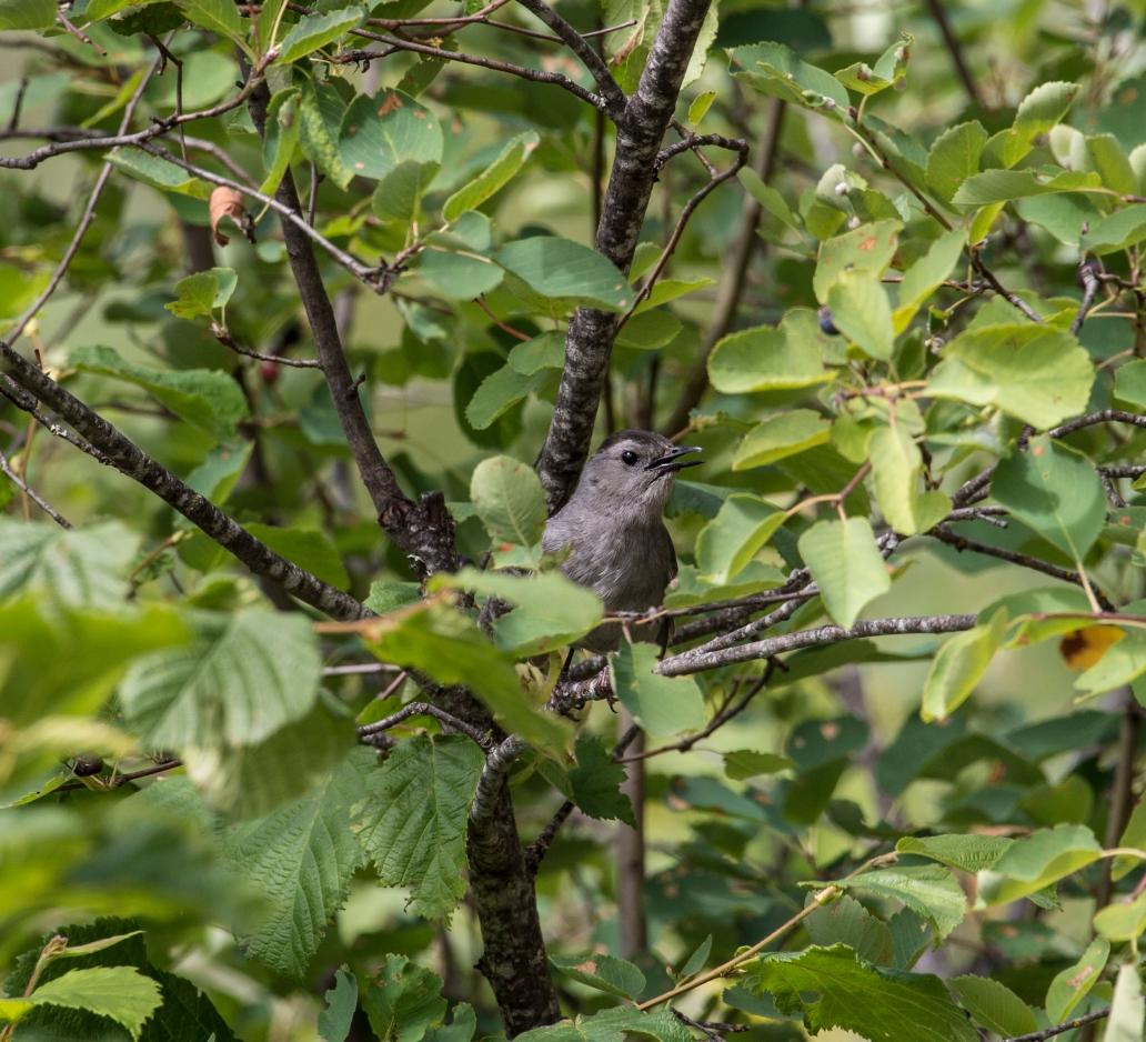 DSC_6982cat bird 1-8