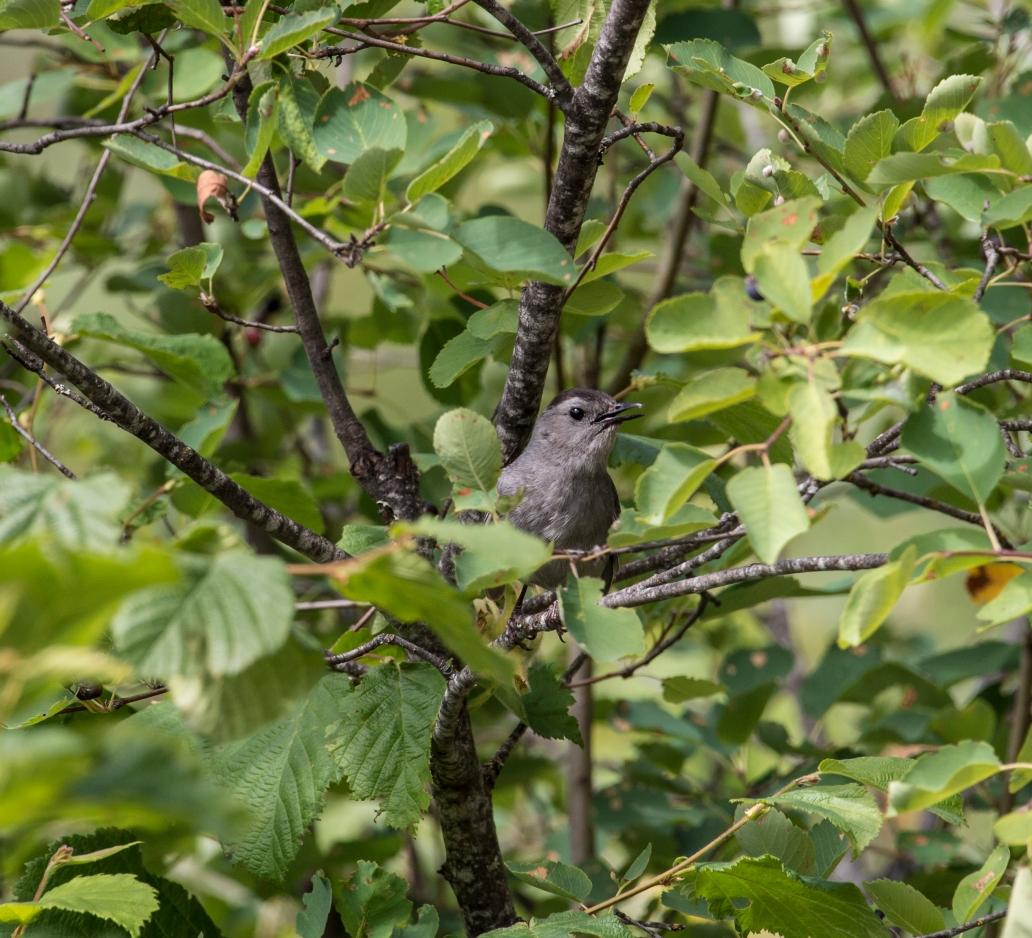 DSC_6983cat bird 1-8