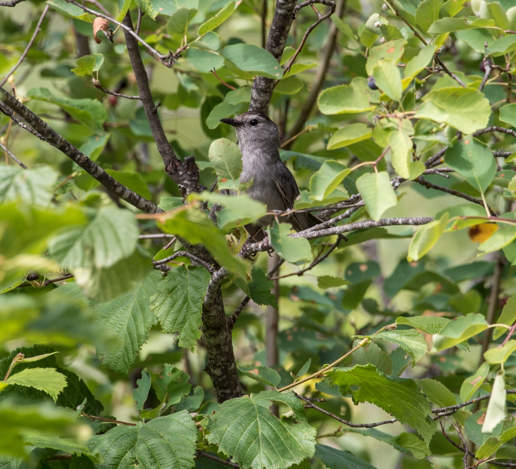 DSC_6989cat bird 1-8
